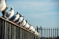 © Licensed to London News Pictures. 31/10/2014. Hampton, UK. Gulls line up on a fence.  People enjoy the warm weather at Hampton Court Palace today 31st October 2014. forecasters are predicting It could be the warmest halloween on record. Photo credit : Stephen Simpson/LNP
