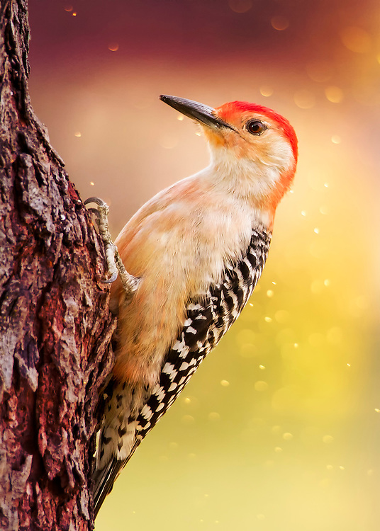 A Red-Bellied Woodpecker Perched On A Tree In Morning Light