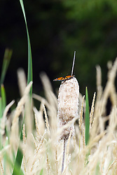 15 Jul 2011: viceroy butterfly near or in the Moraine View State Park, LeRoy Illinois (Photo by Alan Look)