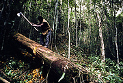The illegal clearing of tropical forest hardwood, Bahia, Brazil