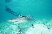 snorkeler and lemon shark, Negaprion brevirostris, with remoras, Echeneis naucrates, Bahamas ( Western Atlantic Ocean )