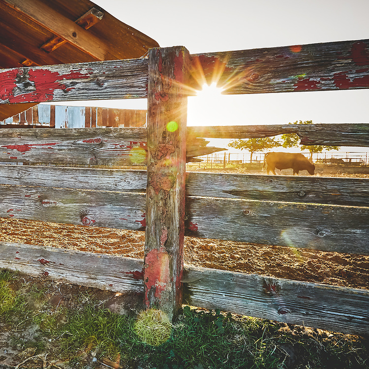 A single cow behind an old fence with the sun setting.