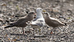 Mew gull chicks await feeding from an adult mew gull on river bar of the Savage River in Denali National Park and Preserve in Alaska. The gulls were seen from the Savage Canyon Trail. Mew gulls spend their summer breeding in Alaska, often nesting on the gravel bar of the Savage River. They then winter on the Pacific coasts of Washington, Oregon and California.