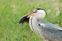 Grey Heron fishing (Ardea Cinerea), Fisher pond, Prypiat area, Belarus