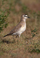 Mountain Plover - Charadrius montanusAdult breeding<br /> Weld Co., CO<br /> July 2000