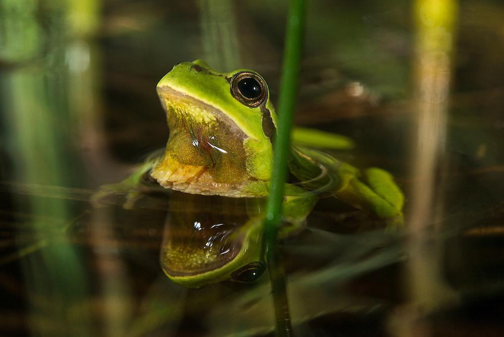 European tree frog (Hyla arborea), lövgroda.<br /> Location: Frihult, Skåne, Sweden
