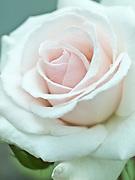 Rosa 'Swan Lake' - climbing rose