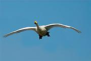 Whooper swan, Cygnus cygnus, adult in flight, flying against blue sky, Odaito, Hokkaido Island, Japan, japanese, Asian, wilderness, wild, untamed, ornithology, snow, graceful, majestic, aquatic