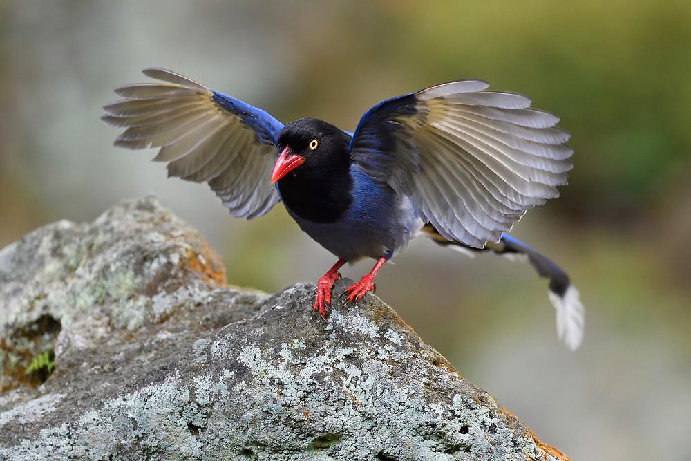 Taiwan Blue Magpie, Urocissa caerulea. Endemic.  Taipei city park, Taiwan