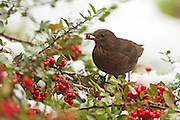 Female blackbird eating a Pyracantha berry, against a backdrop of snow.