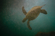 A green sea turtle is suspended amidst bubbles of ocean surge in Hawaii