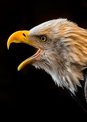 It is said the eagle was used as a national emblem because, at one of the first battles of the Revolution (which occurred early in the morning) the noise of the struggle awoke the sleeping eagles on the heights and they flew from their nests and circled about over the heads of the fighting men, all the while giving vent to their raucous cries.
