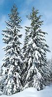 Two snow-covered Douglas Fir (Pseudotsuga menziesii) trees stand tall beside a Mount Tahoma Trails cross country ski trail near Mount Rainier in the Cascade Mountain Range, Washington, USA