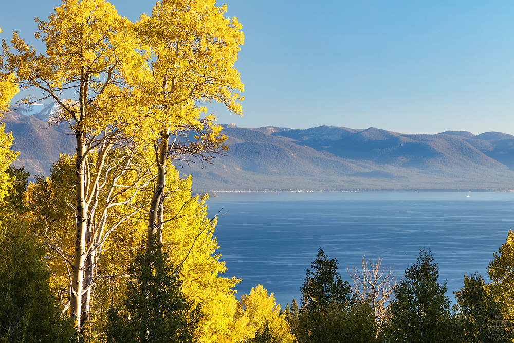 """""""Aspens Above Lake Tahoe 5"""" - These yellow leaved Aspens were photographed above Kings Beach and Lake Tahoe, California."""