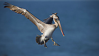 This image is a moment frozen in time, the concentration of a juvenile Brown Pelican coming in for a landing.