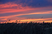Phragmites marsh grass silhouetted at sunset on Delta Marsh.