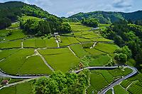 Japon, île de Honshu, région de Shizuoka, champs de thé // Japan, Honshu, Shizuoka, tea fields