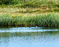 Tufted Duck (Aythya fuligula). Akureyri, Iceland. Image taken with a Nikon Df camera and 300 mm f/2.8 VR lens.