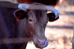 South Africa - Fort Beaufort - 14 - August - 2020 - Graaff-Reinet cattles. Cattle or cows and bulls, are the most common type of large domesticated ungulates. They are a prominent modern member of the subfamily Bovinae, are the most widespread species of the genus Bos.Graaff-Reinet is a town in the Eastern Cape Province of South Africa. It is the fourth-oldest town in South Africa, after Cape Town, Stellenbosch, and Swellendam. The town was the center of a short-lived republic in the late 18th century. Photographer Ayanda Ndamane African News Agency(ANA)