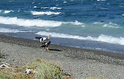 A female Upland Goose (Chloephaga picta) or Caiquen at the edge of Laguna Azul, Torres del Paine National Park,  Republic of Chile 19Feb13