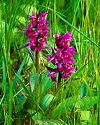 Rose-purple orchis, Dactylorhiza aristata, Near Island, Kodiak Archipelago, Alaska.
