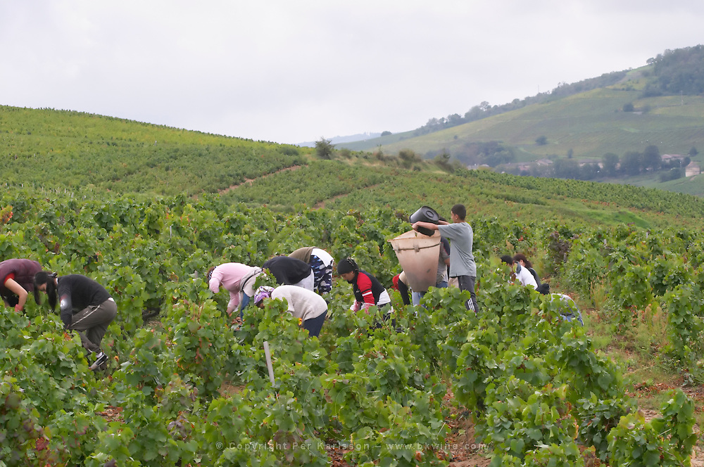 Harvest workers picking grapes. Domaine Tracot Dubost, Beaujolais, France