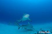 bull sharks, Carcharhinus leucas, female in seasonal breeding aggregation with remora or sharksucker, Echeneis naucrates, Playa del Carmen, Cancun, Quintana Roo, Yucatan Peninsula, Mexico ( Caribbean Sea )