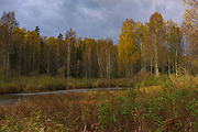 Autumn colors in birch forest along river Seda, Vidzeme, Latvia Ⓒ Davis Ulands | davisulands.com