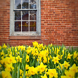 Daffodils in Portsmouth, New Hampshire.