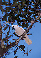 Salmon-crested cockatoo visits me in my tree.