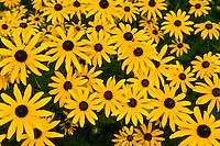 Black-eyed susans (wildflowers), Littleton, Colorado USA
