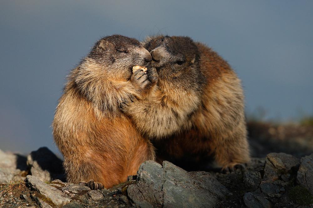 Alpine Marmot (Marmota marmota) , Hohe Tauern National Park, Carinthia, Austria