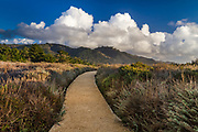 Walking path/trail at Point Lobos State Preserve with billowing clouds and the chapparal ground cover.