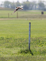 AMELAND -  Vogel (torenvalk)  op out of bounds  paaltje. Amelandse Golfbaan 'De Amelander Duinen' . COPYRIGHT KOEN SUYK