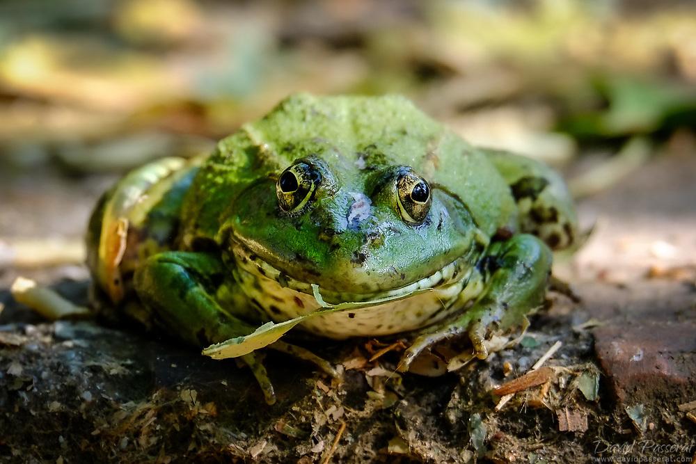 Frog portrait eating a leaf
