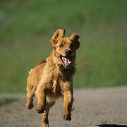 A Golden Retriever fetching. Montana