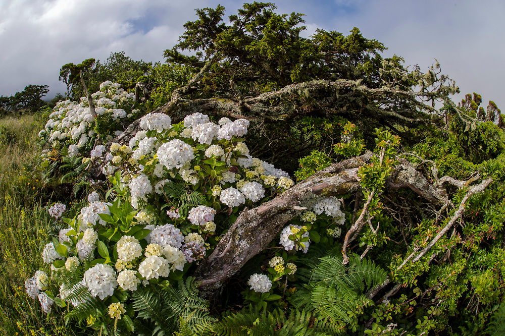 Hortensias aka Hydrangeas and trees weathered by the wind and cold at the base of Pico da Urze at roughly 900 meters on the island of Pico, Azores, Portugal, North Atlantic Ocean. Image available as a premium quality aluminum print ready to hang.