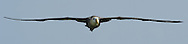 Waved/ Galapagos Albatross (Diomedea irrorata), Punta Suarez, Española, Galapagos, Ecuador