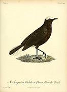 Traquet coureur from the Book Histoire naturelle des oiseaux d'Afrique [Natural History of birds of Africa] Volume 4, by Le Vaillant, Francois, 1753-1824; Publish in Paris by Chez J.J. Fuchs, libraire 1805