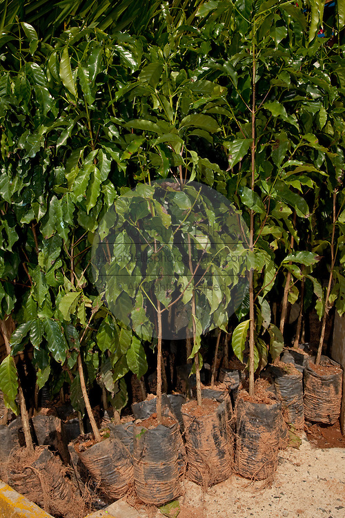 Coffee plants for sale at the Maricao Coffee Festival Puerto Rico