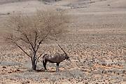 A lone Gemsbok (Oryx Gazella) under a tree in Namib-Naukluft National Park, Namibia.