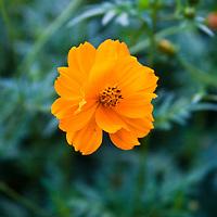 Orange Cosmos sulphuriensis.