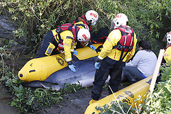 © Licensed to London News Pictures. 10/05/2021. London, UK. Rescuers are seen next to a young minke whale as it remains trapped in the River Thames at Teddington Lock in south west London. Fire crews and the British Divers Marine Life group worked with a Royal National Lifeboat Institute (RNLI) crew in an effort to save the whale after it got stuck last night . Photo credit: Peter Macdiarmid/LNP