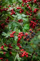 Autumnal hedgerow berries. Rubus fruticosus agg - Blackberries with Crataegus monogyna - Common hawthorn, Maythorn, Motherdie, Quickthorn