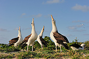 laysan albatross groupe of four dance together