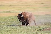 An enormous wild bull bison (buffalo) rolls in a dust bath on the high plains of South Dakota