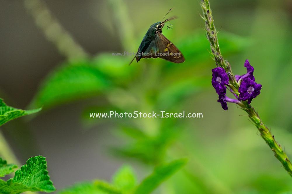 Esmeralda Longtail butterfly (Urbanus esmeraldus) Photographed in Costa Rica