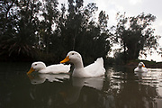 Domestic ducks (Anas platyrhynchos domestica) are ducks that are raised for meat, eggs and down. Many ducks are also kept for show, as pets, or for their ornamental value.
