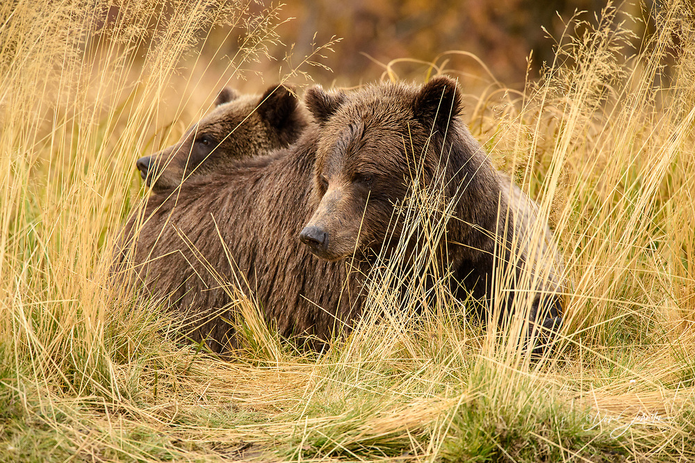 Grizzly bear (Ursus arctos)- Family hunting for spawning sockeye salmon along shore of the Chilko River, Chilcotin Wilderness, BC Interior, Canada