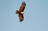 Brahminy Kite - Haliastur indus - adult